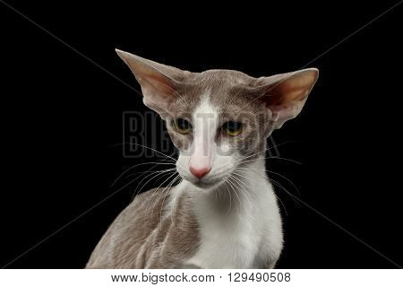 Closeup Gray Oriental Cat With Big Ears Pity Looking at Side Black Isolated Background