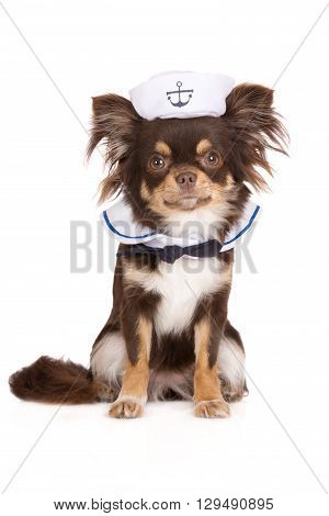 funny chihuahua dog posing as a sailor on white