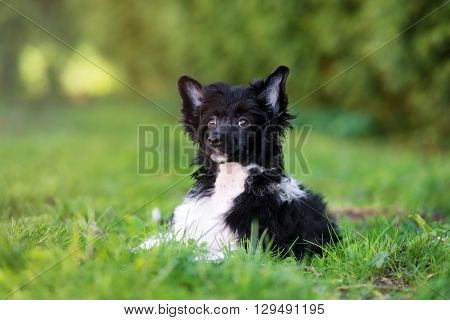 adorable black and white chinese crested puppy outdoors in summer