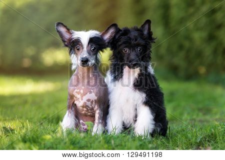two chinese crested puppies sitting on grass