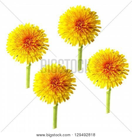 bright cap dandelion dry flower isolated elements white background for scrapbook object roughage spring leaf.