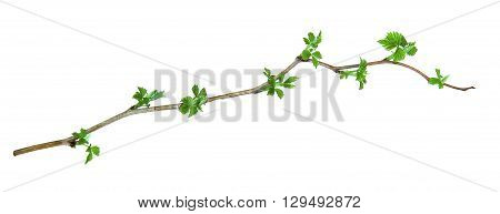 leaf of young green twig raspberry bush isolated leaves on white background for scrapbook draw object spring leaf