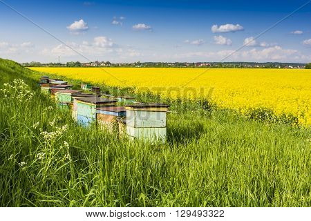 Bee apiary put the blooming rape field.