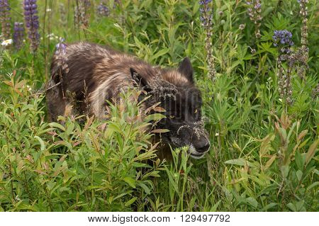Black Phase Grey Wolf (Canis lupus) Walks Through Lupin Patch - captive animal