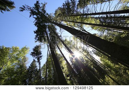 Trunks Of Trees In Pristine Forest Of Conifers