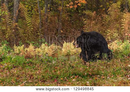 Adult Female Black Bear (Ursus americanus) Mouth Open - captive animal