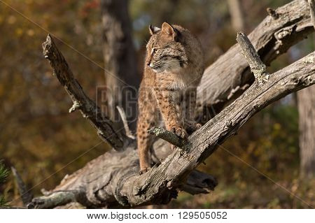 Bobcat (Lynx rufus) in Branches - captive animal