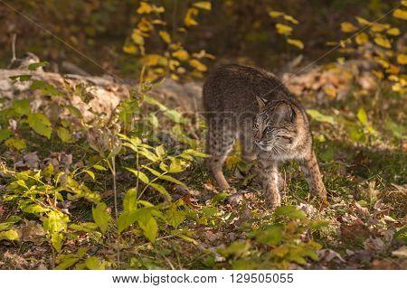 Bobcat (Lynx rufus) Turns Left - captive animal