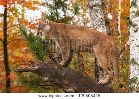 Adult Male Cougar (Puma concolor) on Branch Looks Left - captive animal