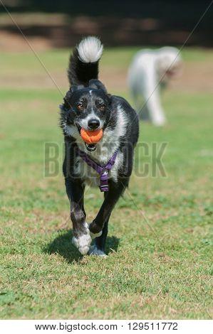 Smiling Border Collie retrieving ball at park.