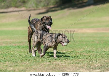 Large Mastiff dog and smaller friend at park.