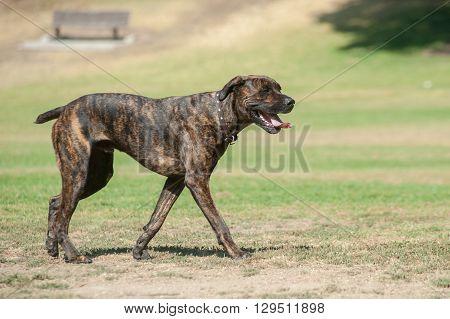 Large Mastiff dog walking with mouth open.