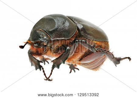 beetle isolated on white background
