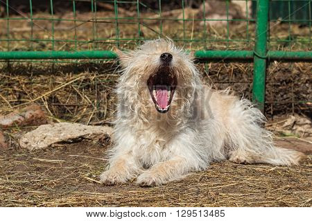 Little mongrel dog with long fur lying near the fence and yawns. Taken on a sunny summer day outdoors in natural light. Selective focus image.