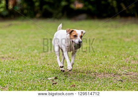 Jack Russell Terrier Purebred Dog Runs, Jumps And Plays With His Favorite Ball