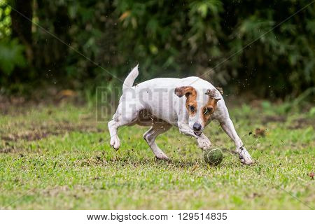 Jack Russell Terrier Female Dog Trying To Catch A Tennis Ball
