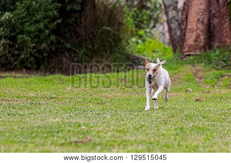 Jack Russell Terrier Dog Jumping On A Field With Green Grass With His Favorite Toy
