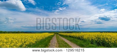 canola field and dirt road