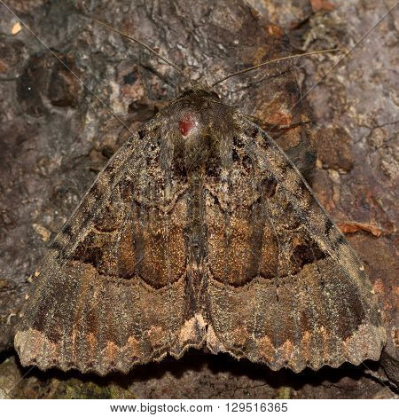 Old lady moth (Mormo maura). British insect in the family Noctuidae the largest British family moths in the order Lepidoptera