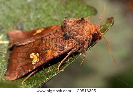 Ear moth (Amphipoea oculea) in profile. British insect in the family Noctuidae the largest British family moths in the order Lepidoptera