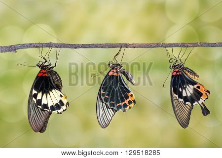 Male and female great mormon butterfly hanging on twig