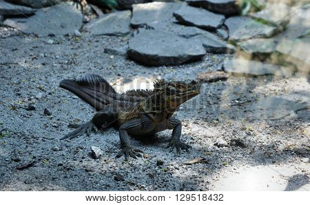 Wild iguana basking in the sand . Philippines. Palawan Island .