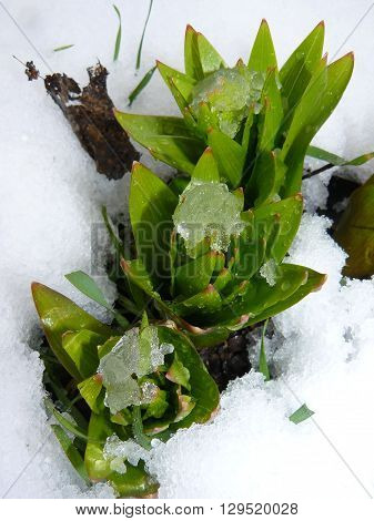 Leaf rosette Fritillaria in the snow Green leaves Fritillaria covered with snow after a spring bad weather