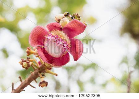 Flower Of Shorea Robusta Tree On Blur Bokeh