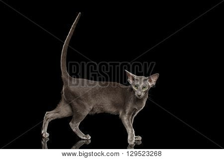 Gray Oriental Cat With Big Ears Standing and raised tail Black Isolated Background