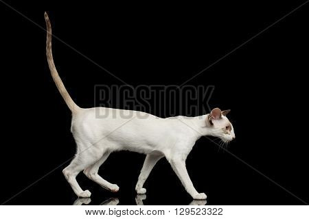White Oriental Cat With Big Ears and Raised tail Walking Black Isolated Background