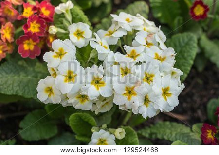 white and yellow primrose in spring close up
