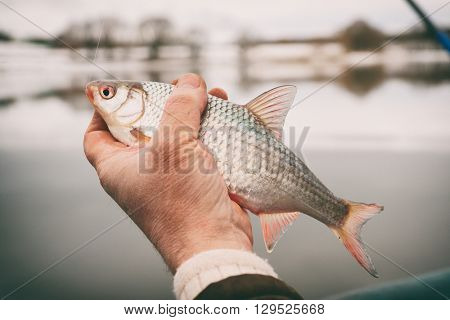 Roach in fisherman's hand, winter catch, toned image