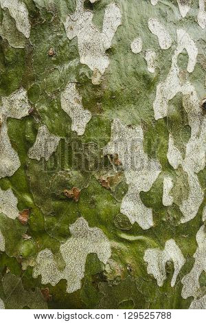 Plane tree bark detail wet with rainwater Platanus