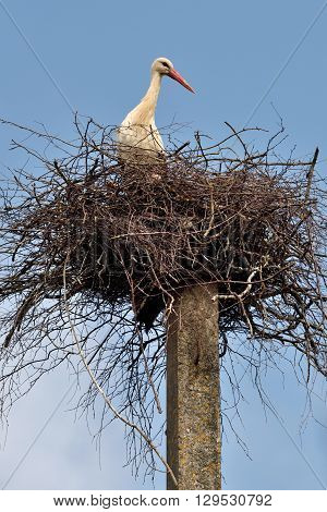 Stork in the nest Lithuania East Europe