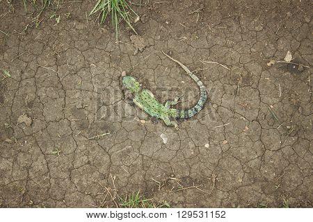 Dragon . lizard green crushed on the road