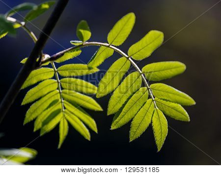 Fresh leaves of a mountain ash lit with the spring sun