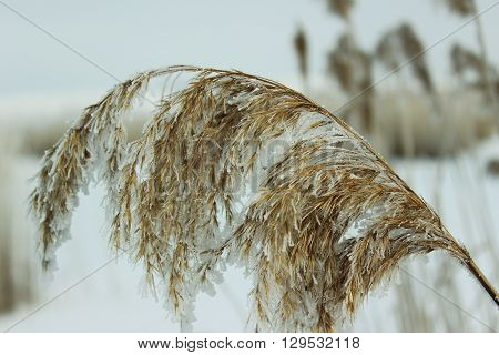 Reed It Is Covered Hoarfrost