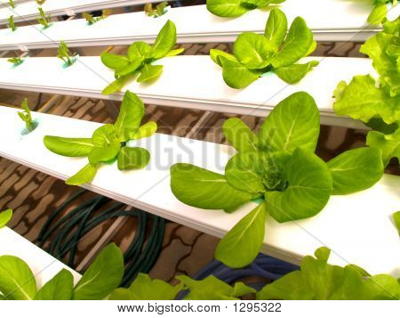 Vegetable Hydroponic