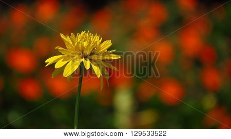 A bright yellow flower standing alone on the backdrop of blurred orange flowers.
