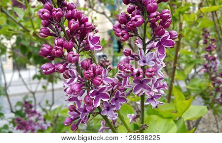 Branche of close up beautiful blossoming lilac