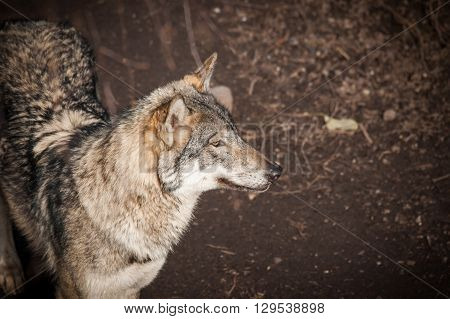 Grey Wolf In A Forest In Autumn