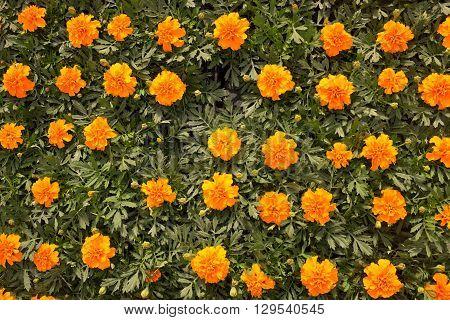 a Flowerbed of Dianthus barbatus (Sweet William)