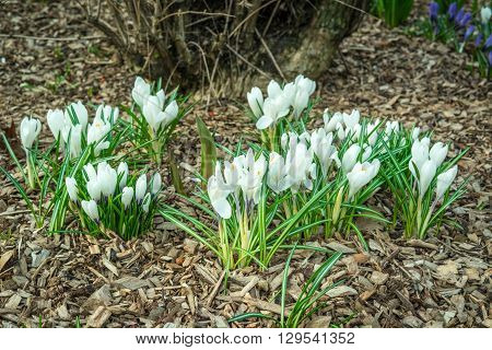 White Crocus Flower In A Garden With Bark