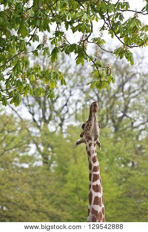 Girafe Eating A Leaf