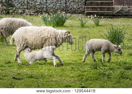 Sheep in an orchard with a lamb suckling from the ewe
