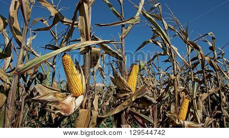 Close-up of a peeled corn cob in a corn field. Agricultural crops.