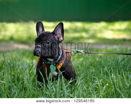A dog on a leash and harness for a walk. Green grass. Dog pedigree French Bulldog