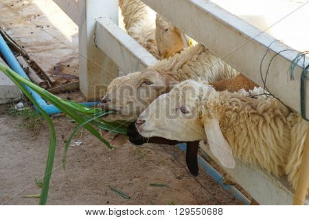 Sheep farm in Cha-am at Southern Thailand