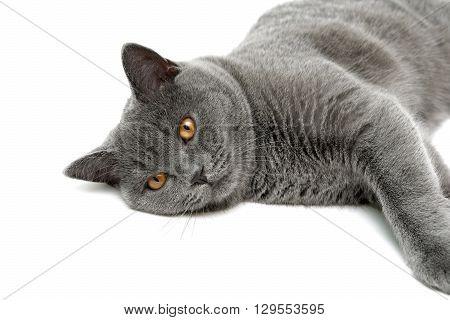gray cat lying on a white background. horizontal photo.