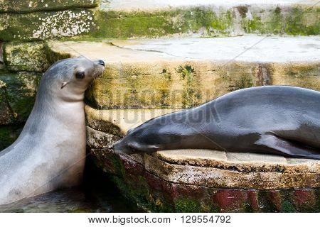 Pinniped- Seal